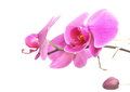 Phalaenopsis purple orchid on white background pink Stock Photo