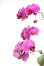 Phalaenopsis purple orchid on white background pink Royalty Free Stock Image