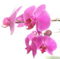 Phalaenopsis purple orchid on white background pink Royalty Free Stock Images
