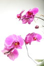 Phalaenopsis purple orchid on white background pink Royalty Free Stock Photography