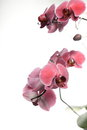 Phalaenopsis purple orchid on white background pink Stock Photos