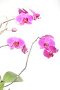 Phalaenopsis purple orchid on white background pink isolated Royalty Free Stock Image