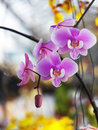 Phalaenopsis sanderiana close up flower Royalty Free Stock Image