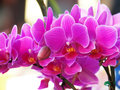 Phalaenopsis sanderiana close up flower Stock Photography