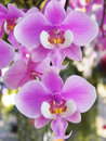 Phalaenopsis sanderiana close up flower Royalty Free Stock Images