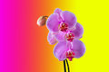 Phalaenopsis tropical orchid against colour background Stock Image