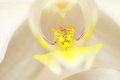 Phalaenopsis. White orchid close up Stock Photography