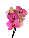 Phalaneopsis pink orchid on white background Stock Images