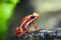 Phantasmal poison frog Royalty Free Stock Photo