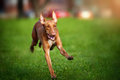 Pharaoh Hound dog running Stock Photo