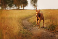 Pharaoh hound in field