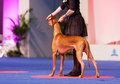 Pharaoh hound july th paris france in the show ring at the world dog show Stock Photography