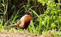 Phasianus colchicus pheasant multi colored bird in the wild Stock Photos