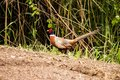 Phasianus colchicus pheasant multi colored bird in the wild Royalty Free Stock Photo
