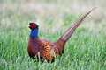 Pheasant Royalty Free Stock Photo