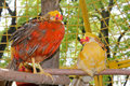 Pheasant in aviary. Royalty Free Stock Photography