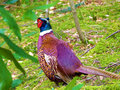 Pheasant brightly coloured male in wildlife background Stock Image