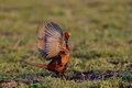 Pheasant Royalty Free Stock Photo