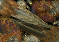 Pheasant Feathers Royalty Free Stock Photo