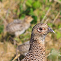 Pheasant female bird with juvenile Royalty Free Stock Photo