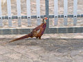 Pheasant by fence. Walking around. Royalty Free Stock Photo