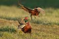Pheasant fighting Royalty Free Stock Photo