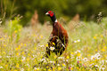 Pheasant in grass with flowers Royalty Free Stock Photo