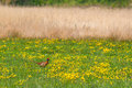 Pheasant on a green field Royalty Free Stock Photo