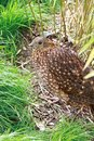 Pheasant hen between tufts of grass Royalty Free Stock Photo