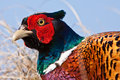 Pheasant male closeup Royalty Free Stock Photos