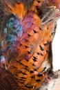 Pheasant plumage Royalty Free Stock Photo