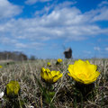 Pheasant s eye flower closeup yellow in front of a windmill from the swedish island oland in the baltic sea Stock Photography