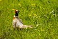 Pheasant standing in field Royalty Free Stock Photo