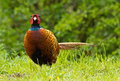 Pheasant standing in green grass Royalty Free Stock Photos