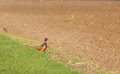 Pheasant standing on ground Royalty Free Stock Photo