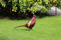 Pheasant standing, showing his profile Royalty Free Stock Photo