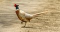 Pheasant walking across road Royalty Free Stock Photo
