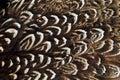 Pheasant wing plumage Royalty Free Stock Photo