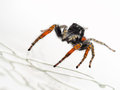 Philaeus chrysops adult male red black and white jumping spid bright aka bellied spider Stock Images