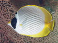 Philippine butterflyfish Royalty Free Stock Photo