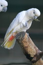 Philippine cockatoo Royalty Free Stock Photography