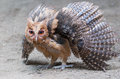 Philippine eagle owl owlet assuming a defensive posture Stock Images