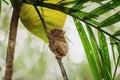 Philippine sarangani tarsier Royalty Free Stock Photo