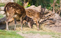 Philippine spotted deer with kid Stock Photos