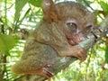 Philippine tarsier Royalty Free Stock Photo