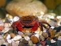 Philippines Crimson Crab Stock Image