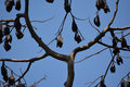 Philippines fruit bats one of the largest in the world the philippine bat can be seen in large groups hanging from a tree these Stock Images