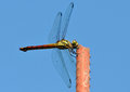 Philippines, Red Swamp Dragonfly Royalty Free Stock Image