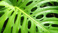 Philodendron leaf Royalty Free Stock Photo