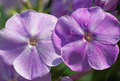 Phlox flower in drops of morning dew Stock Photos